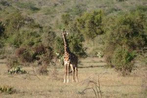 YWAM Athi River - Giraffe